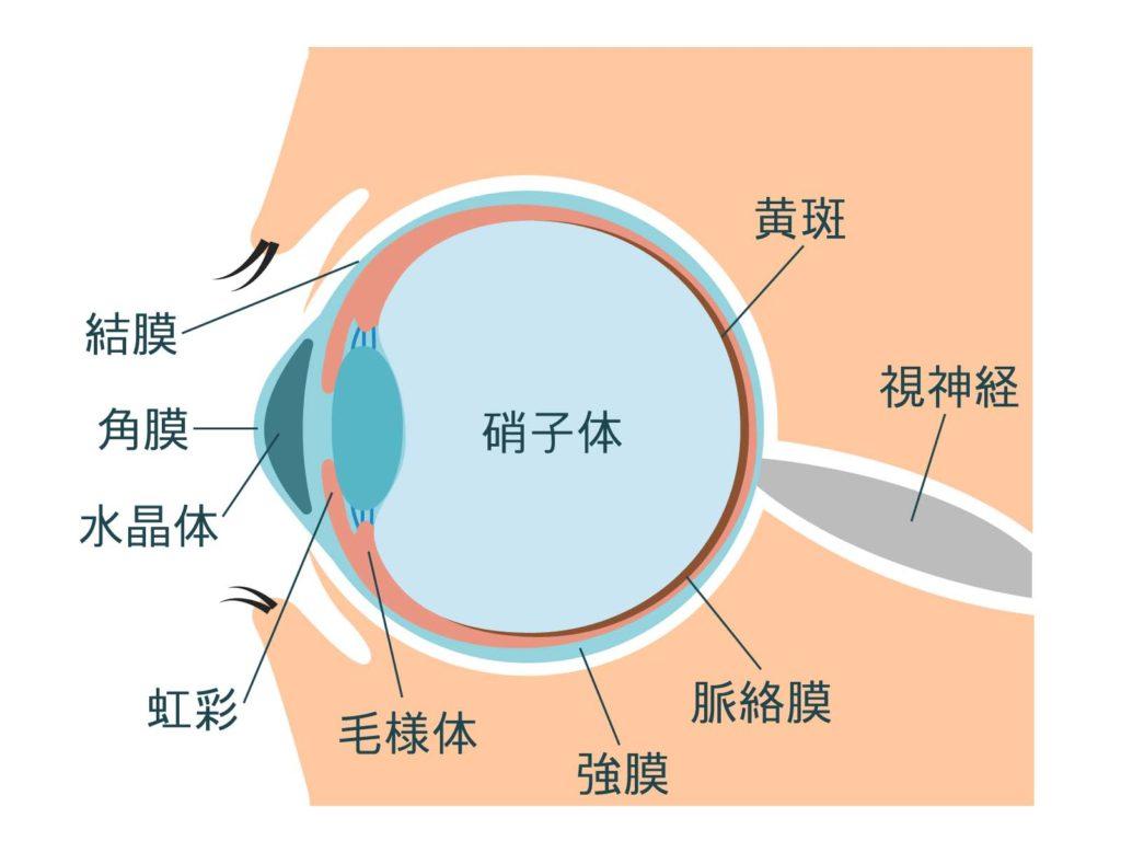 眼球の解剖図
