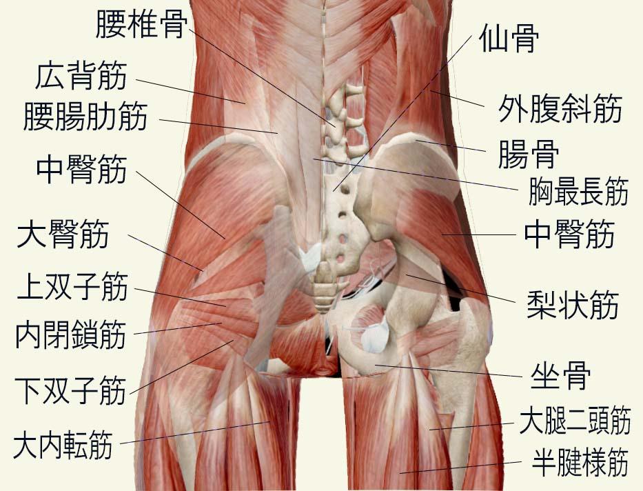 腰部・臀部(骨盤)の筋肉