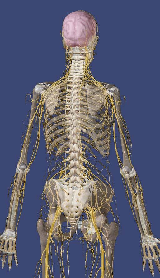 神経分布図