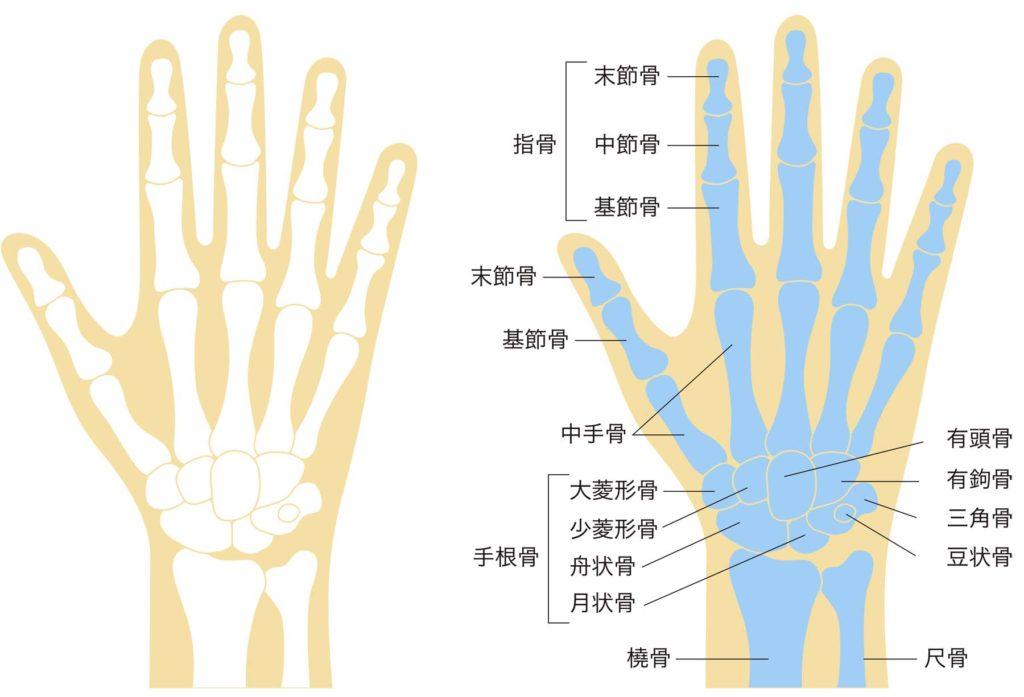 手首の骨格図