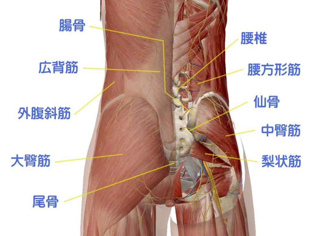 腰と骨盤の解剖図
